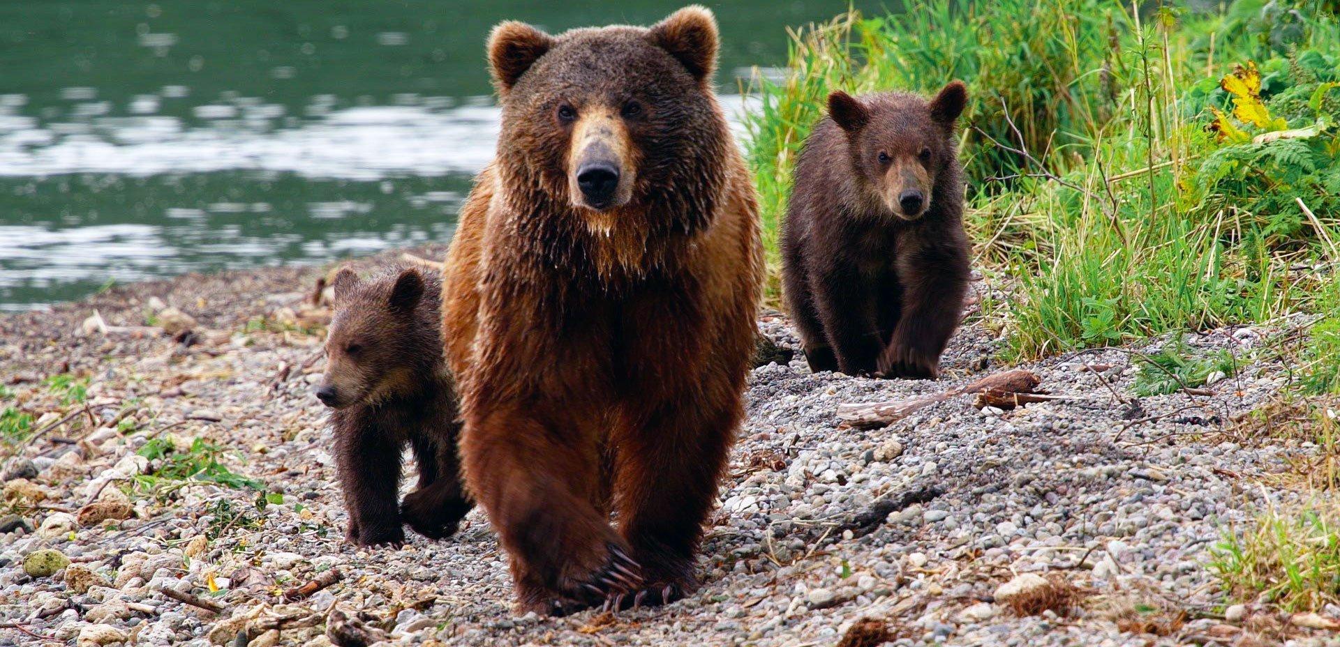 Natura - orsi bruni della Kamchatka