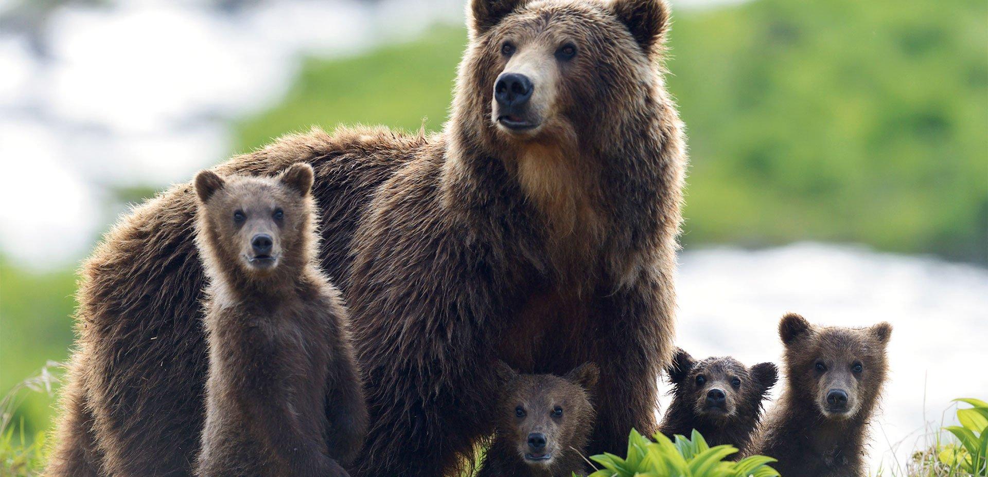 famiglia di orsi bruni della Kamchatka