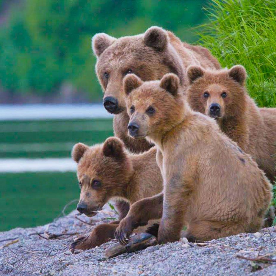 orso bruno della Kamchatka