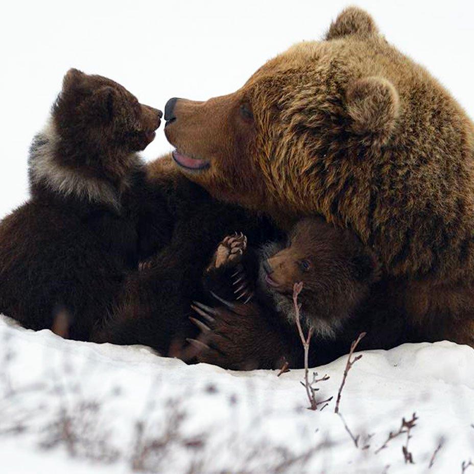 mamma orsa e cuccioli