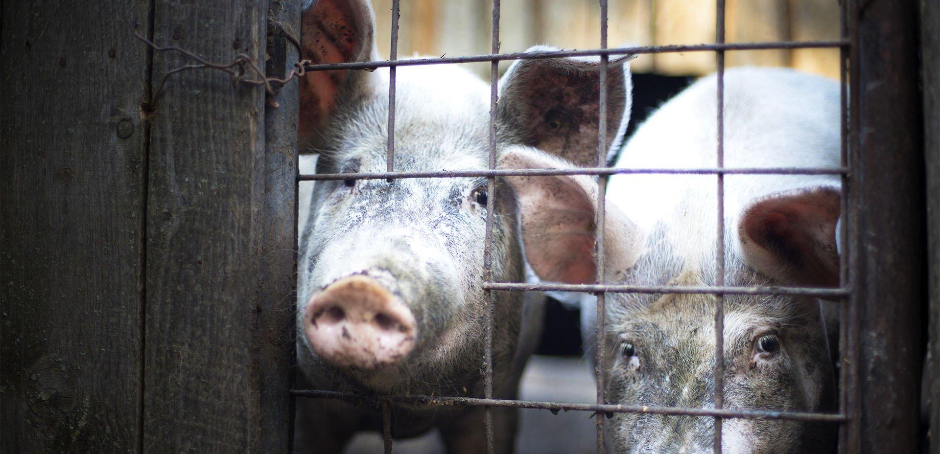 due maiali dietro il recinto