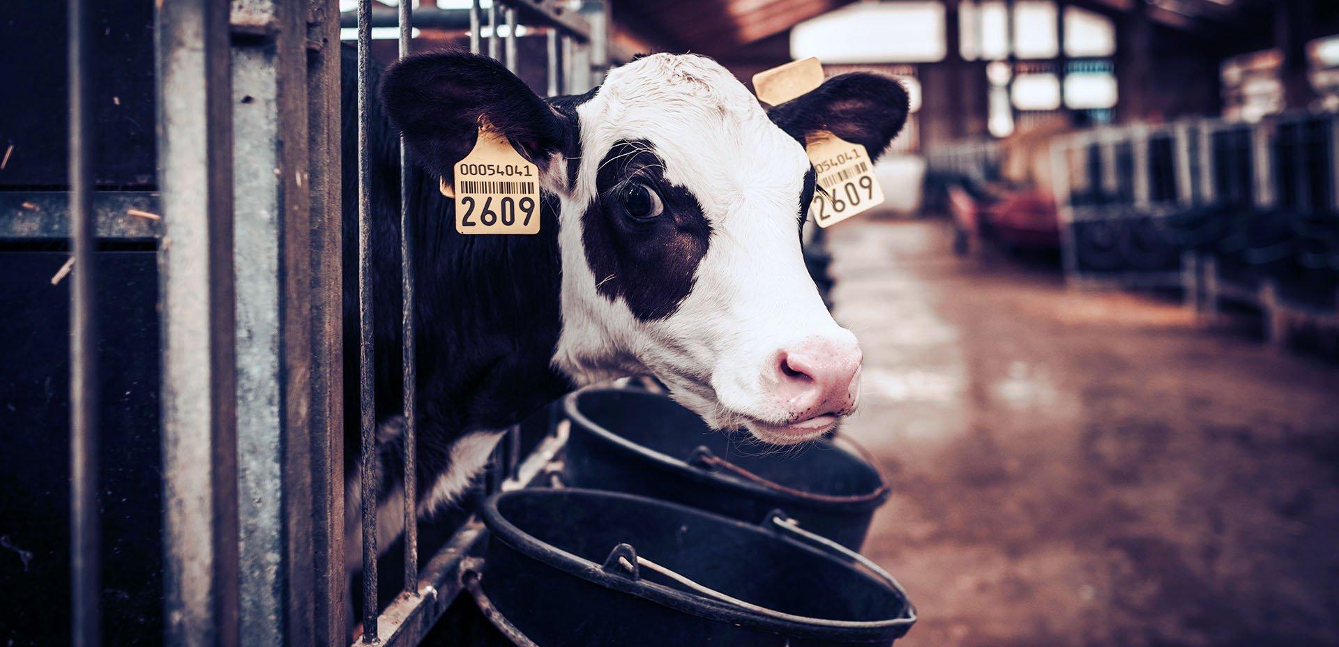 vitello in un allevamento intensivo