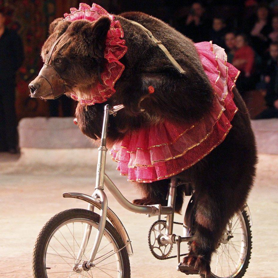orso sulla bicicletta