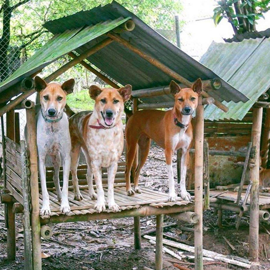 cani del Thai Animal Sanctuary