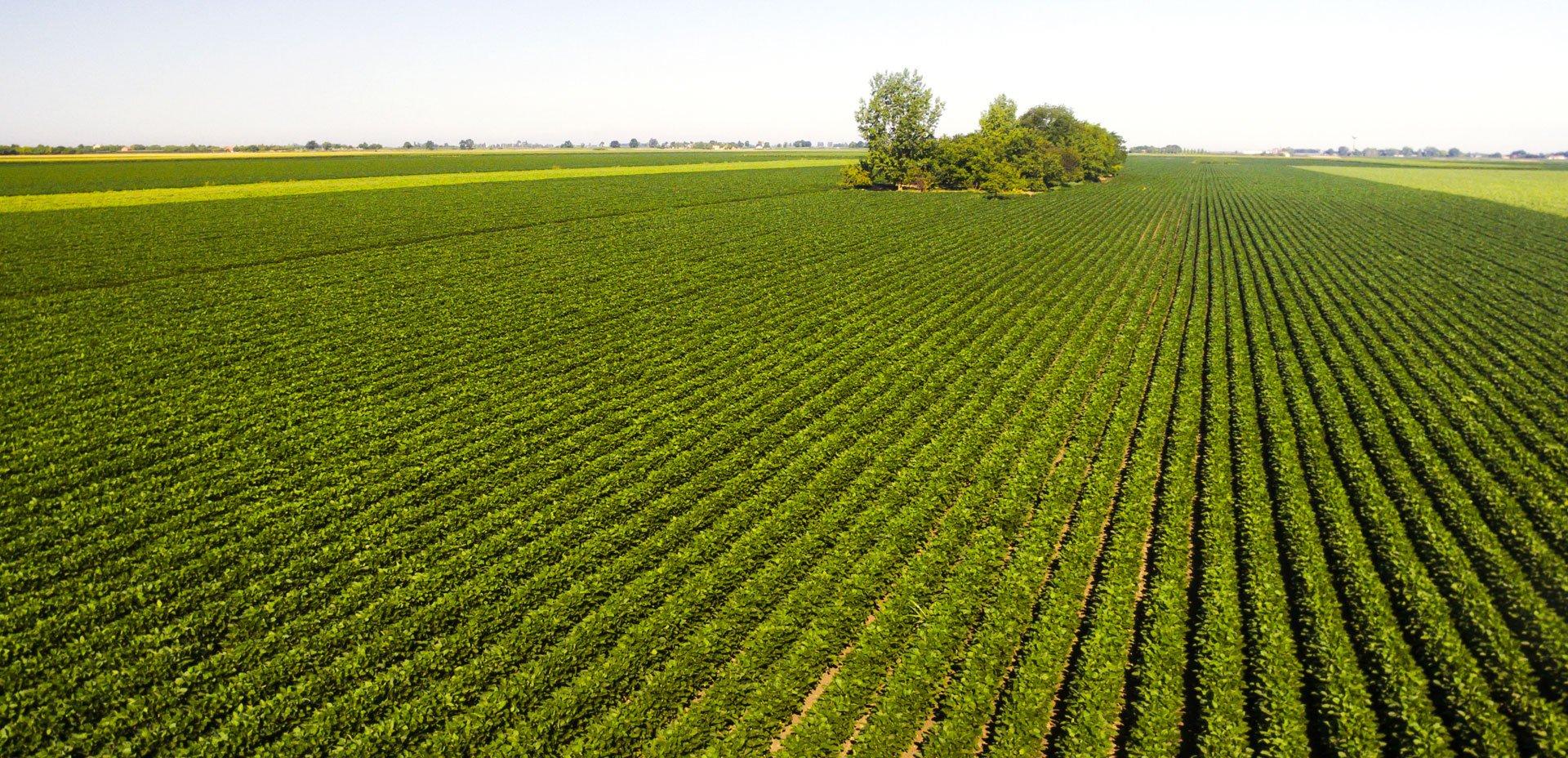 campo di soia