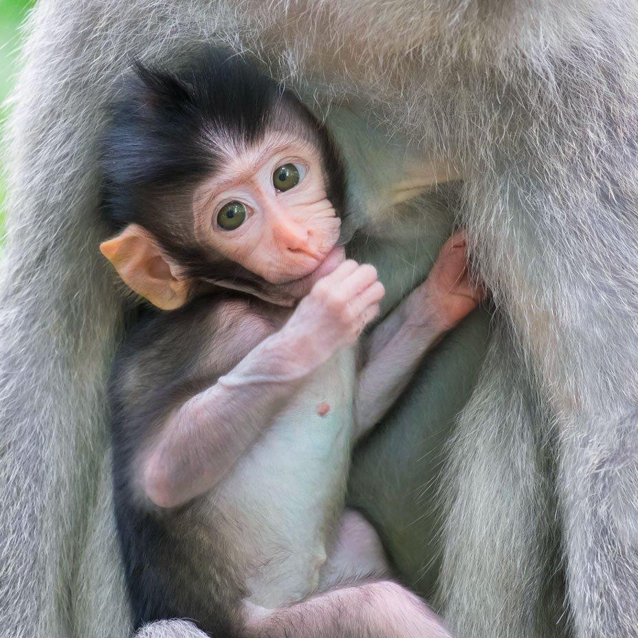 Specie specificità del latte: cucciolo di scimmia