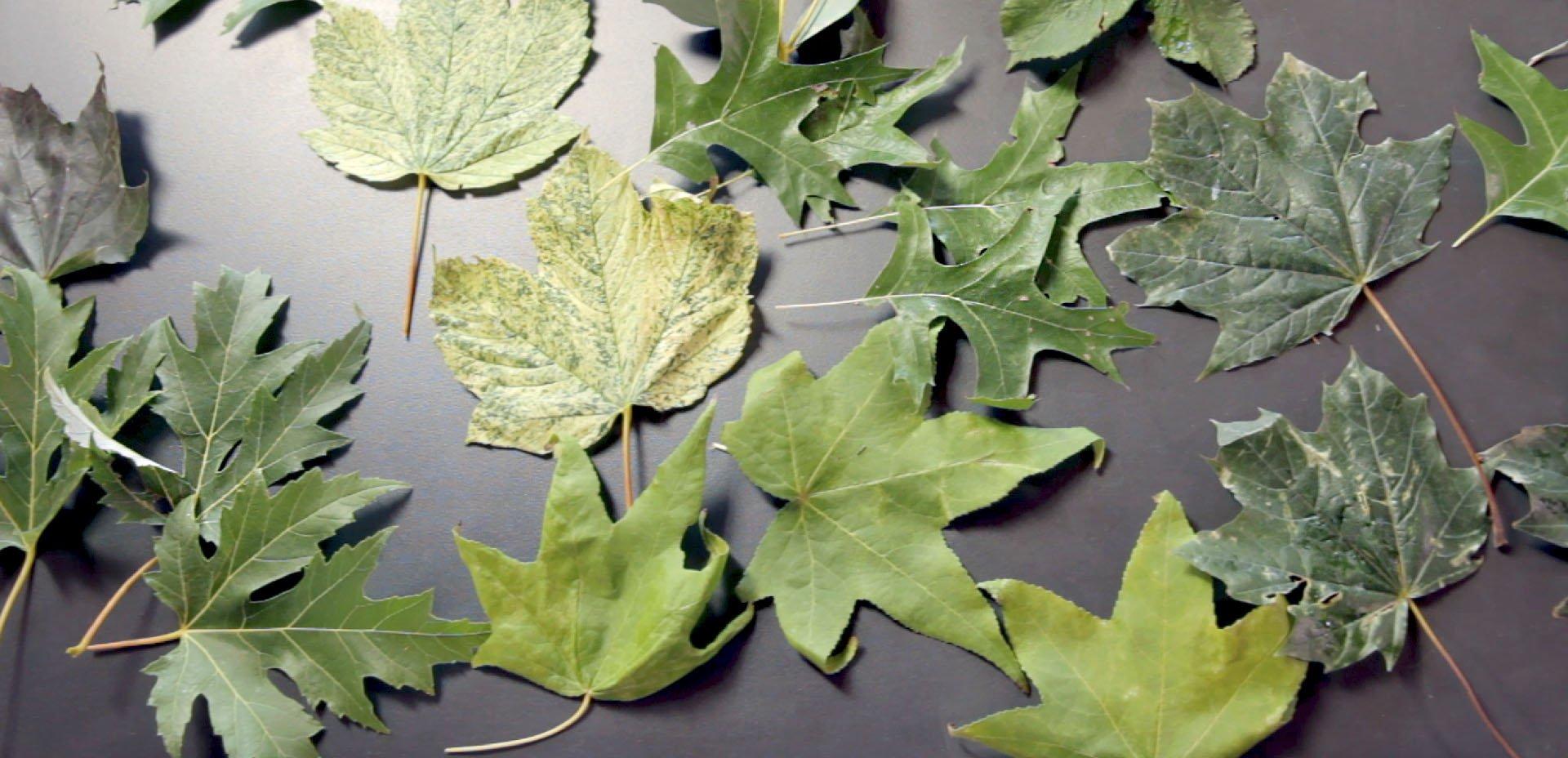 foglie da usare nell'eco printing su carta