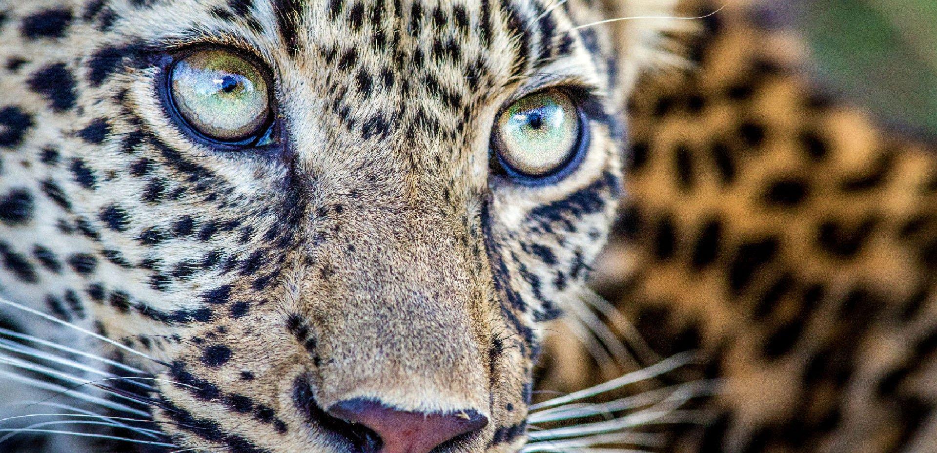 ghepardo, occhi