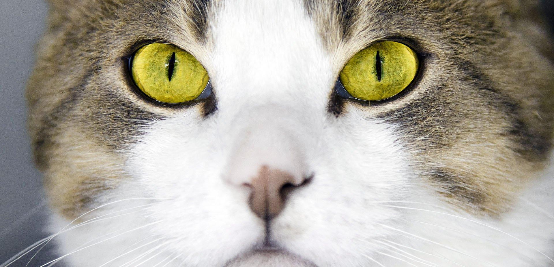 gatto, occhi